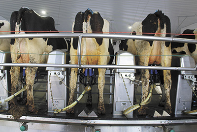 Cows stand on the rotary parlor the Zwalds installed on their 1,400-cow dairy near Hammond, Wisconsin. The Zwald family has been very happy with their transition from a double-10 parlor to the new rotary parlor.  PHOTO BY DANIELLE NAUMAN